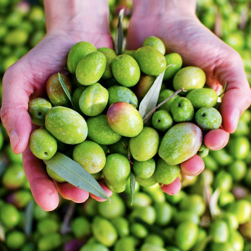 cultivar-frantoio-caputo